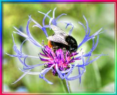 Bumblebee in der Berg-Flockenblume. ©UdoSm