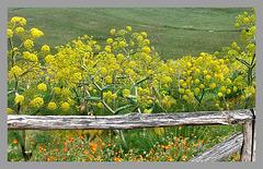 Wilder Fenchel - wild fennel - finocchio selvatico