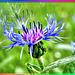 Berg-Flockenblume. ©UdoSm