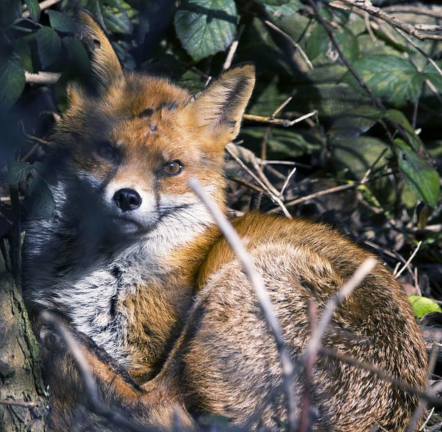 Fox, eye contact