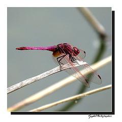 Trithemis Annulata ...
