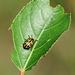Cottonwood Leaf Beetle (I think)