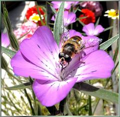 Schwebfliege auf Kornrade (Agrostemma githago).  ©UdoSm