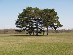 Пять деревьев на поляне