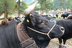 Avant le Combat de Reines du Val d'Hérens, Les Haudères (Valais, Suisse)