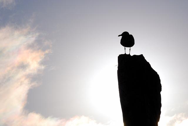 Silhouette Seagull