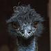 20160812 2236VRAw [D~ST] Emu, Rheine