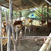 Vaches et bambou / Bamboo and cows