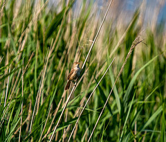Cetti's warbler.