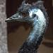 20160812 2237VRAw [D~ST] Emu, Rheine