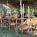 Bamboo and cows / Vaches et bambou