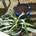 Top of yucca in water to see if it'll grow roots