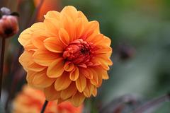 Dhalia 031  Variety Orange Chum.