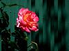 non si può imprigionare una rosa... HFF !