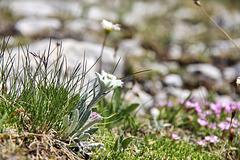 Kleines Edelweiss....