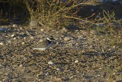 Charadrius dubius, Borrelho-pequeno-de-coleira  DSC1017