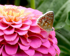 Brown Argus resting on a Zinnia.