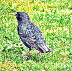 Starling On Our Lawn.