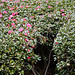 Tokyo, Flower Bush in the Garden of the Imperial Palace