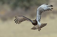 Circaète à poitrine noire (Black-chested snake eagle )