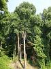 Grand arbres virginiens