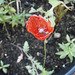 Really tiny red poppy all on its own