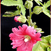 Feigenblättrige Stockrose (Alcea ficifolia). ©UdoSm