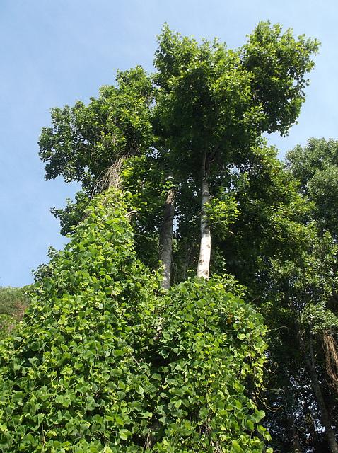 Tall virginian trees