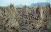 Bundles of rice stalks