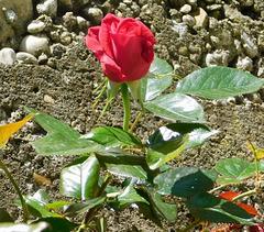Une rose pour la Fête des Pères************