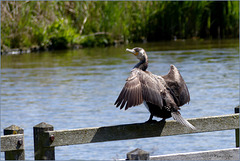 Great cormorant ~ Aalscholver (Phalacrocorax carbo) drying its feathers...