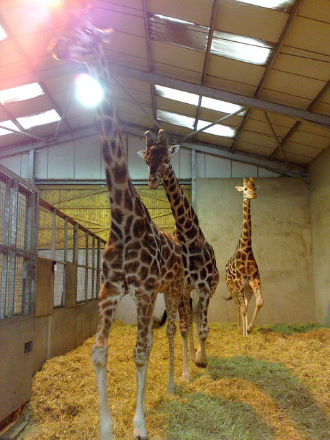 When giraffes attack
