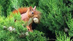 Ecureuil roux au jardin