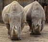 Rhinos in Louisville