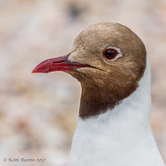 Black Heaed Gull