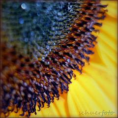 Malerische Sonnenblume
