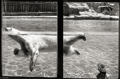 Au zoo, l'ours blanc et la petite fille.