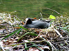 Audley End- Coot Nesting