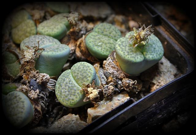 Lithops fulviceps