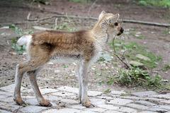 Junges Rentier (Zoo Pforzheim)