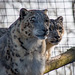 Snow leopards from the Welsh mountain zoo