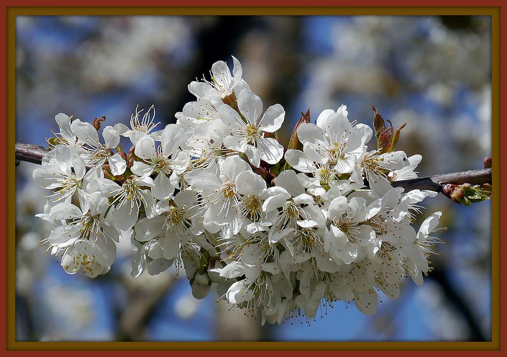 Blütten vom Weisdorn