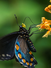 Battus philenor (Pipevine Swallowtail Butterfly) pollinating Platanthera ciliaris (Yellow Fringed orchid)