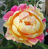 Rose d'automne / Fall rose