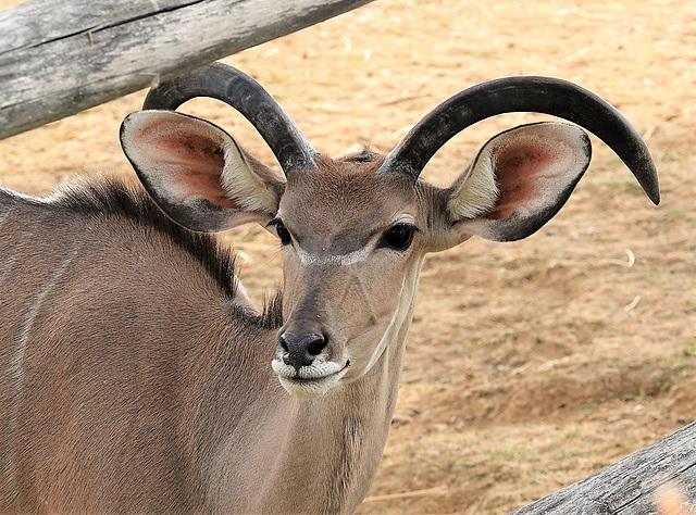 Jeune koudou