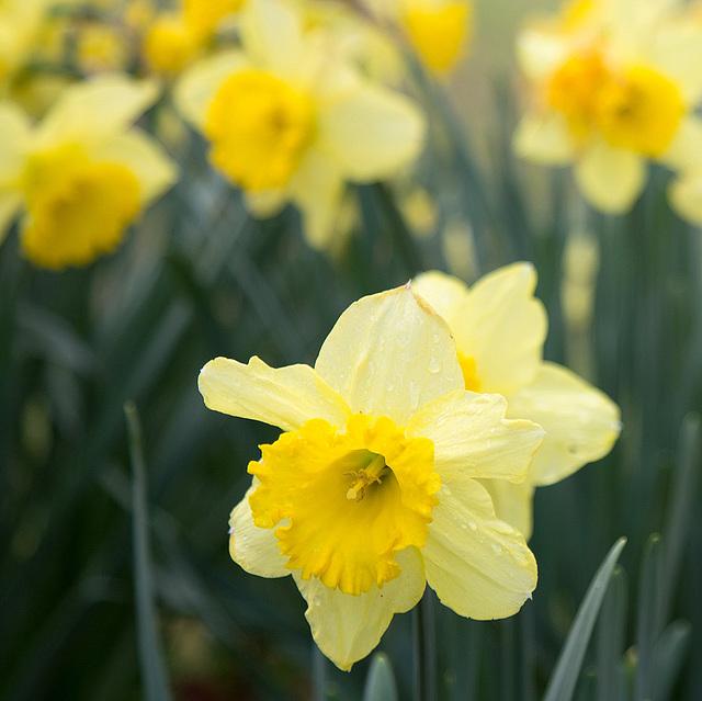 Daffodils 2016 #2