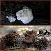 Roodbruin netpluimpje (Stemonitis axifera)...