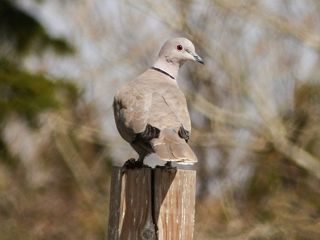 Eurasian Collared-Dove / Streptopelia decaocto