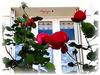Ces roses pour vous pour un bon dimanche !