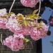Die Japanischen Kirschen blühen
